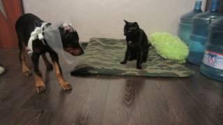 Наглый кот занял подушку Добермана