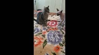 Кошка сфинкс дерется с мурлыкой