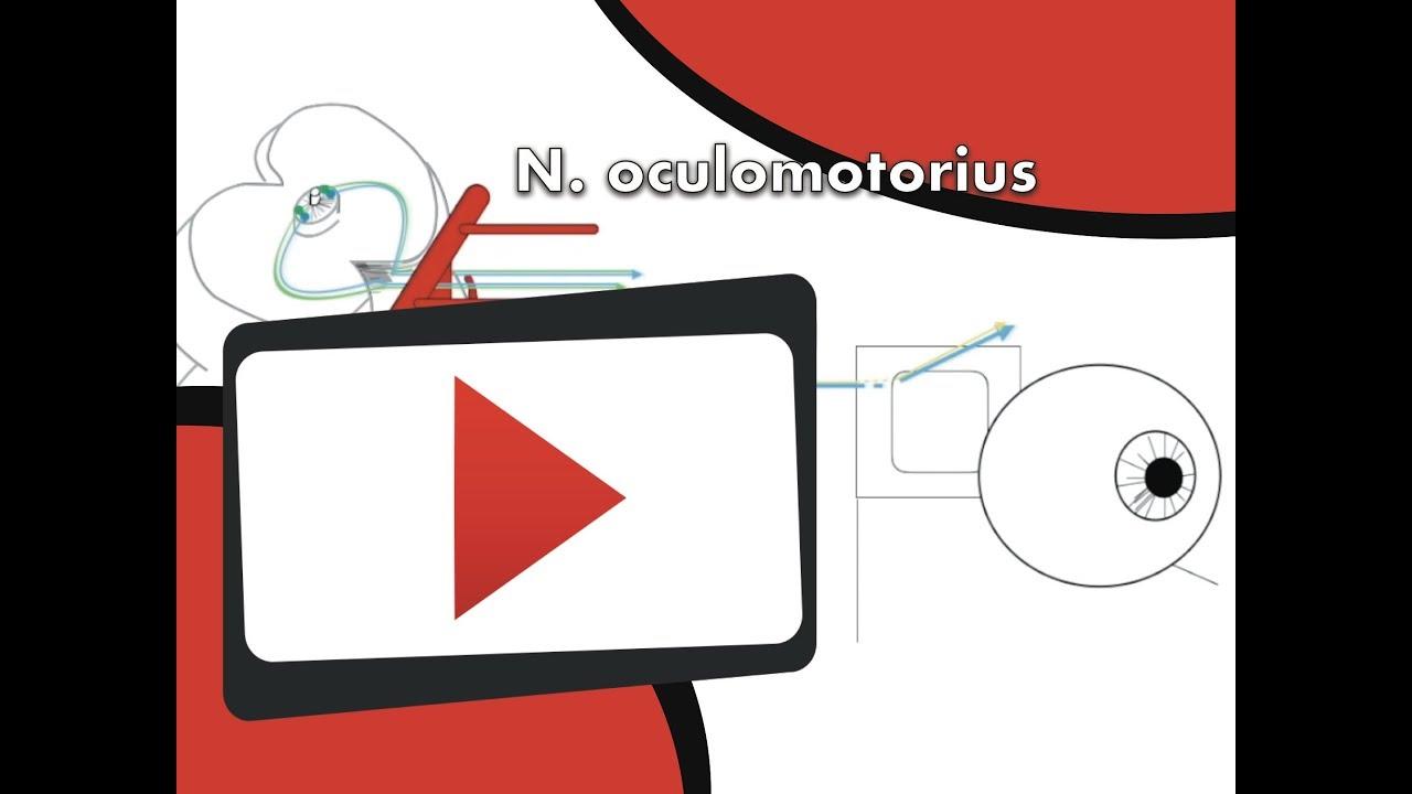 Nervus oculomotorius - YouTube