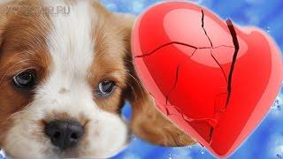Сердечная недостаточность у собак | Лечение.