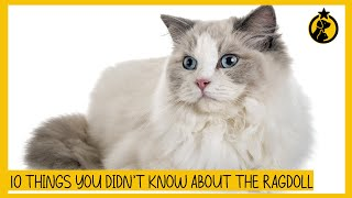 10 Fascinating Things You Didn't Know About the Ragdoll Cat