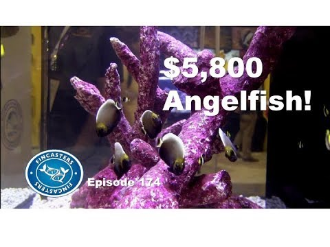 $5,800 Angelfish From POMA Labs Fincasters Episode 174