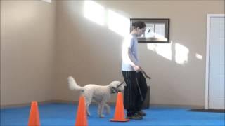 Elsa (goldendoodle) Dog Training Video Minneapolis