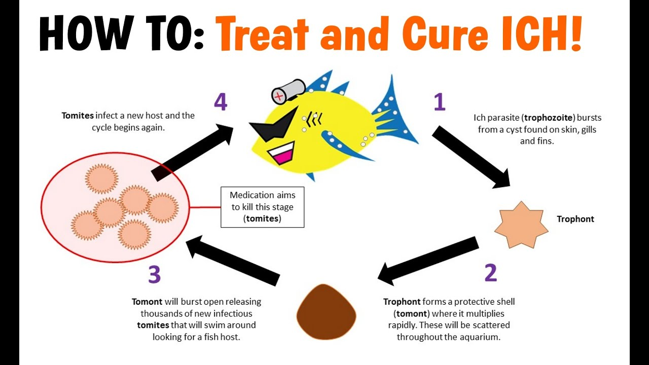 How to Treat and Cure ICH (White Spot Disease)