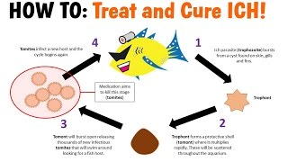 how-to-treat-and-cure-ich-white-spot-disease