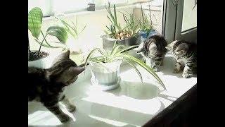 Котята британцы играют на подоконнике