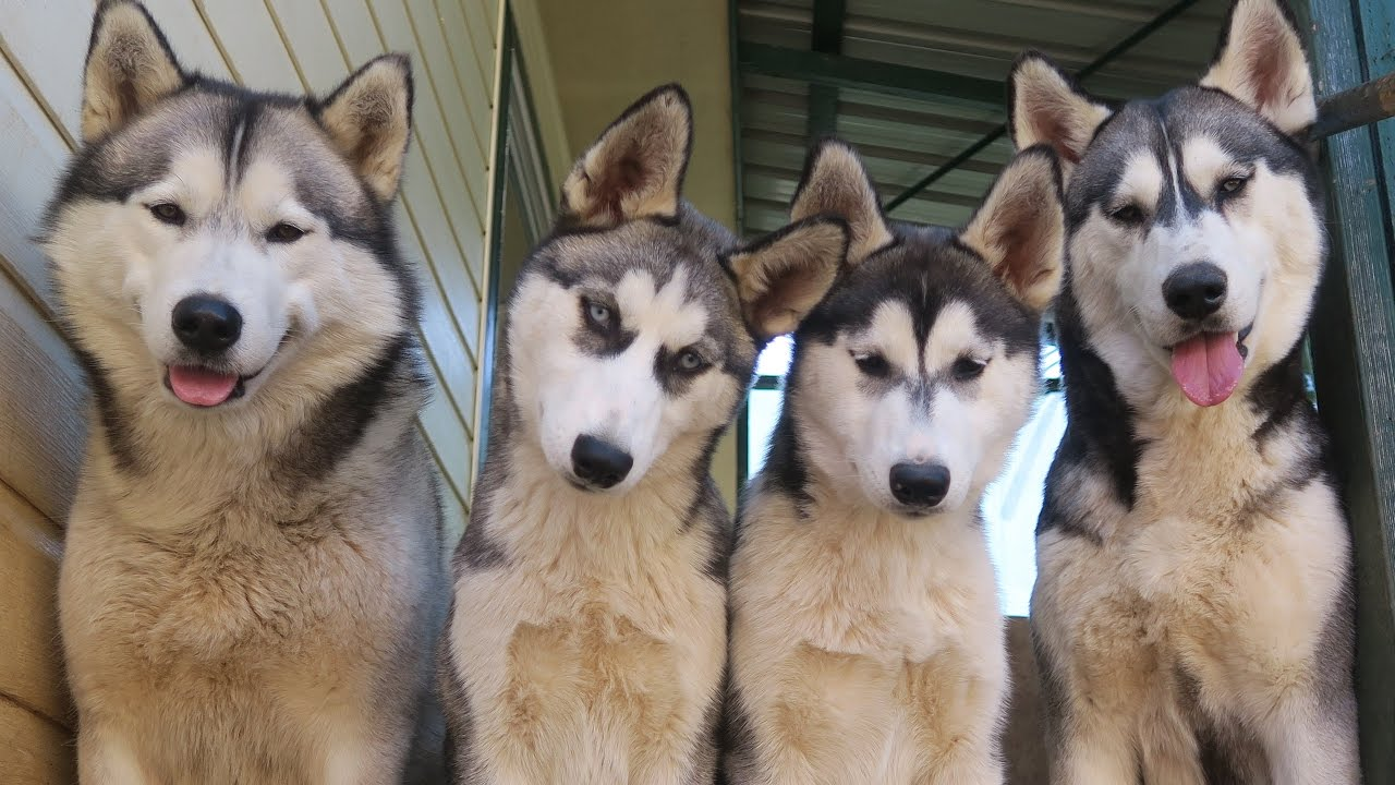 What do we feed our 4 siberian huskies vlog youtube - Pictures of siberian huskies ...