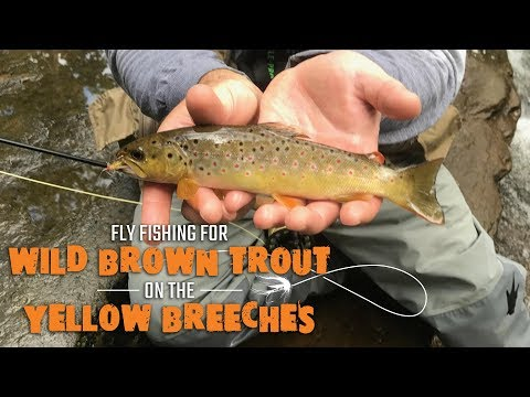 Fly Fishing For Wild Brown Trout On The Yellow Breeches