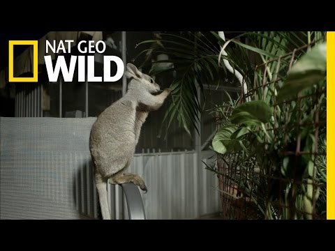 The Not-So-Sweet Side of Raising A Wallaby | Kangaroo Dundee