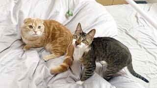 短足猫と妹猫がおもちゃで遊ぶ様子