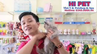 HI PET : Bán mèo Ba Tư mặt tịt lông dài