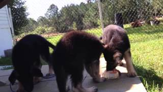 Puppies For Sale German Shepherd Puppies Play With Iq Games Vom Barron's Pride Gsd