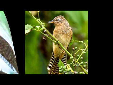 suara burung emprit gantel