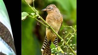 Suara Burung Emprit Gantil