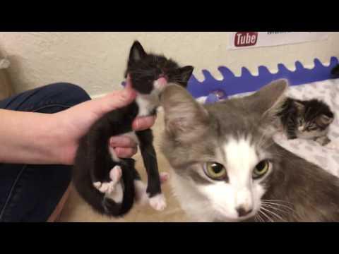 Foster Kitten's First Meal (adorable fail) Mother Cat Licks Food off of Kitten's Face!