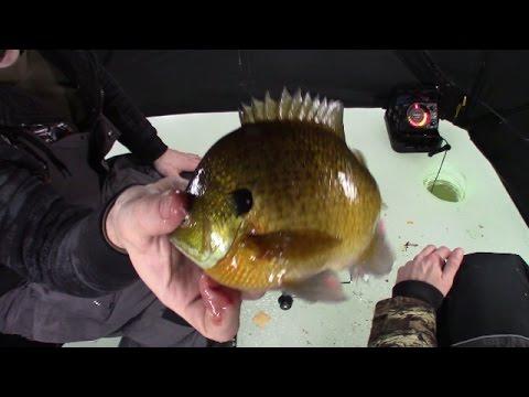 Big Bluegills On Hamlin Lake Michigan Ice Fishing