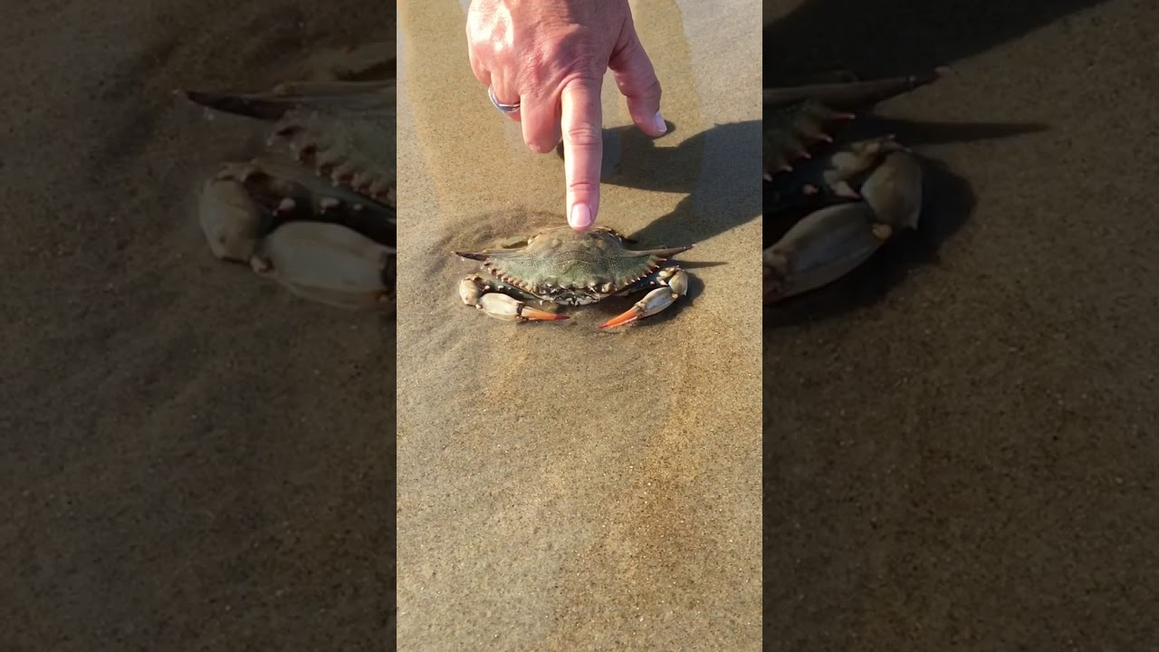 dont mess with a pregnant crab  youtube