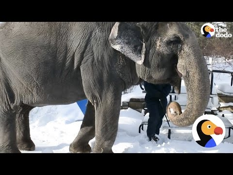 Elephant Stolen From Wild Spends 40 Years In Zoo | The Dodo