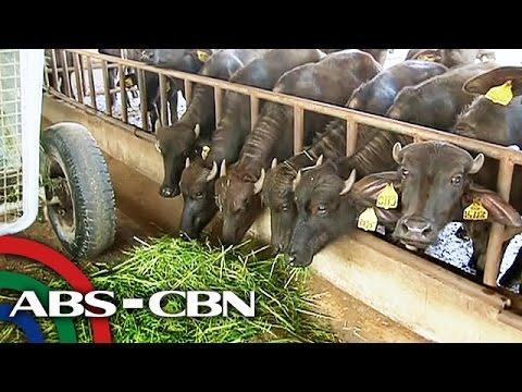 Salamat Dok: Carabao Farm sa Nueva Ecija | Pasyal with Bryan Termulo
