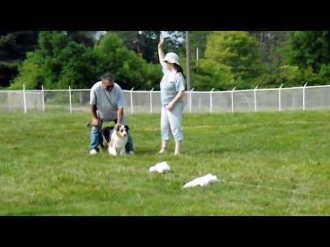 Showdown Australian Shepherds Diva Lure Course Run #35