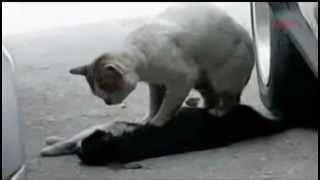 Кот пытается спасти кошку ;(