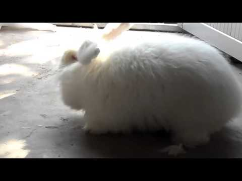 How do workers in China shear angora rabbits fur 安哥拉兔毛收割啦~~