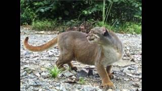 Попалась !!! Одна из самых малоизученных кошек в мире
