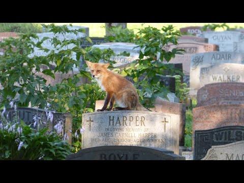 Fox in Mount Royal Cemetery / Renard dans le Cimetière Mont-Royal / Montreal