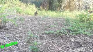 Video Ayam Hutan Pikat Betina 87 download MP3, 3GP, MP4, WEBM, AVI, FLV Juli 2018