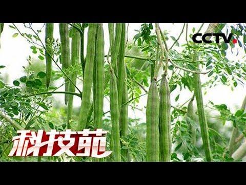 《科技苑》 20171225 神奇的辣木 | CCTV农业