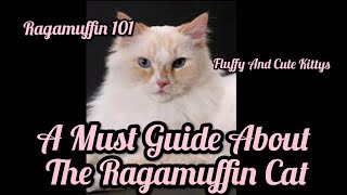 RAGAMUFFIN 101 | All About The Ragamuffin Cat | A Guide For You