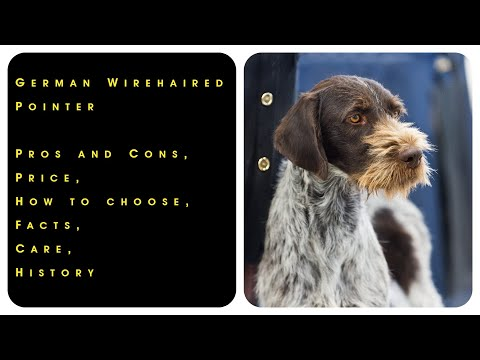 German Wirehaired Pointer. Pros and Cons, Price, How to choose, Facts, Care, History