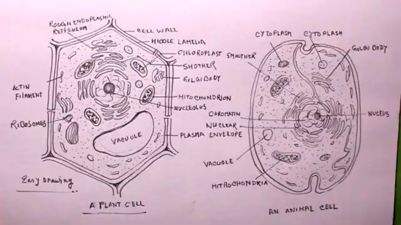 How TO Draw plant cell and animal cell/plant cell drawing ...