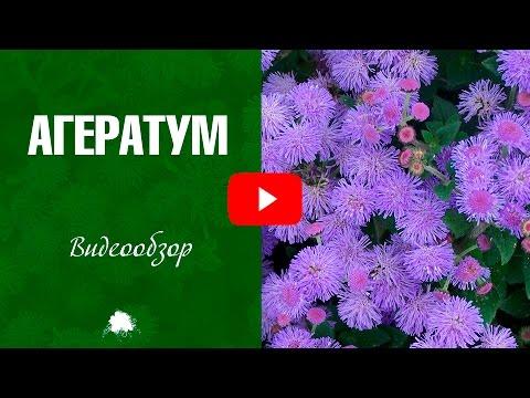Агератум ✅ Выращивание и уход за растением
