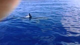 A Great White Shark in Hawaii off Waianae Kaena point Makaha Hawaii