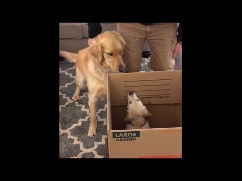Dog is really excited when time comes to meet puppy sister