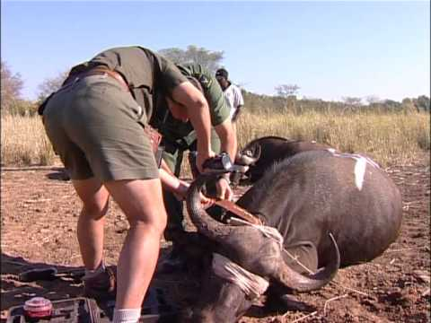 African Buffalo: A major eco-tourism attraction but also a carrier of serious diseases (Part 1)