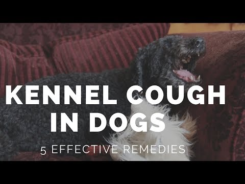5 New Remedies For Kennel Cough In Dogs
