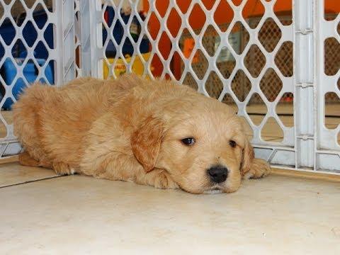 Golden Doodle Puppies For Sale In Little Rock Arkansas Ar