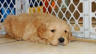 Golden Doodle, Puppies, For, Sale, In, Little Rock, Arkansas, Ar, Russellville, Jacksonville, Sherwo