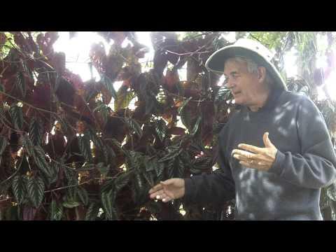 Dr. A on Rex Begonia Vine