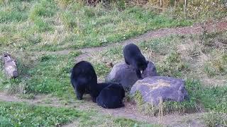 Feeding Black Bears I - Vince Shute Wildlife Sanctuary - Superior National Forest - Orr MN