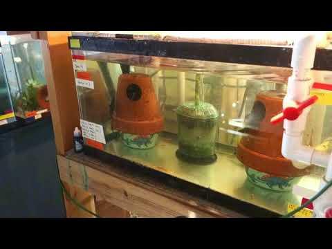 Breeding Synodontis Lucipinnis Selectaquatics Com Video 1