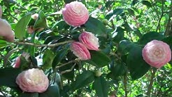 Prolifically blooming camellia bush!