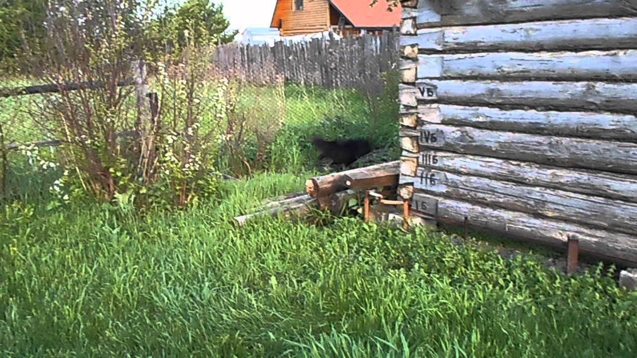 Объявление раздела животные. Щенки якутской лайки купить, продать или отдать в пермском крае на avito.