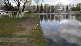 Огарь, или красная утка на центральном пруду в Одинцово