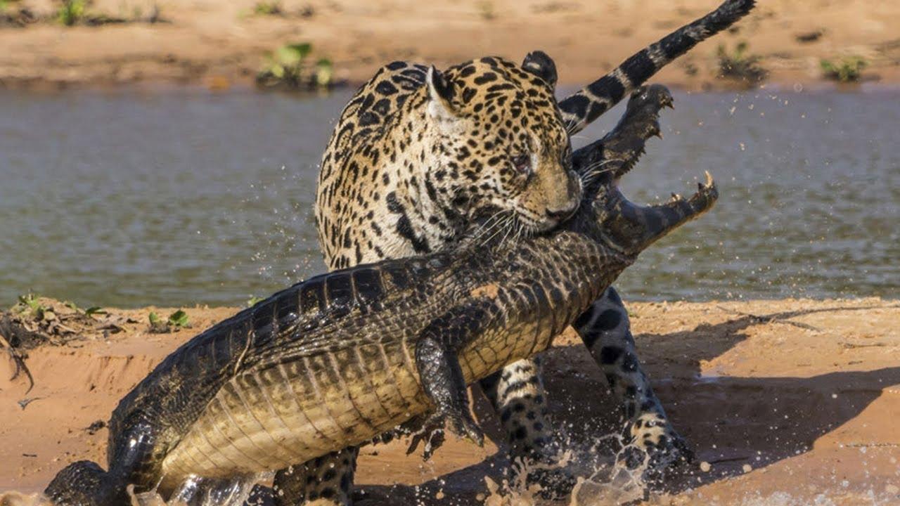ผลการค้นหารูปภาพสำหรับ เสือจากัวร์