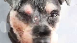 A Schnauzer Has A Large Abscessed Lump Near His Eye