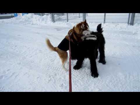 Husky & Briard