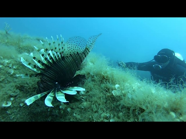 Lionfish removal from artificial reefs in the Amathounta